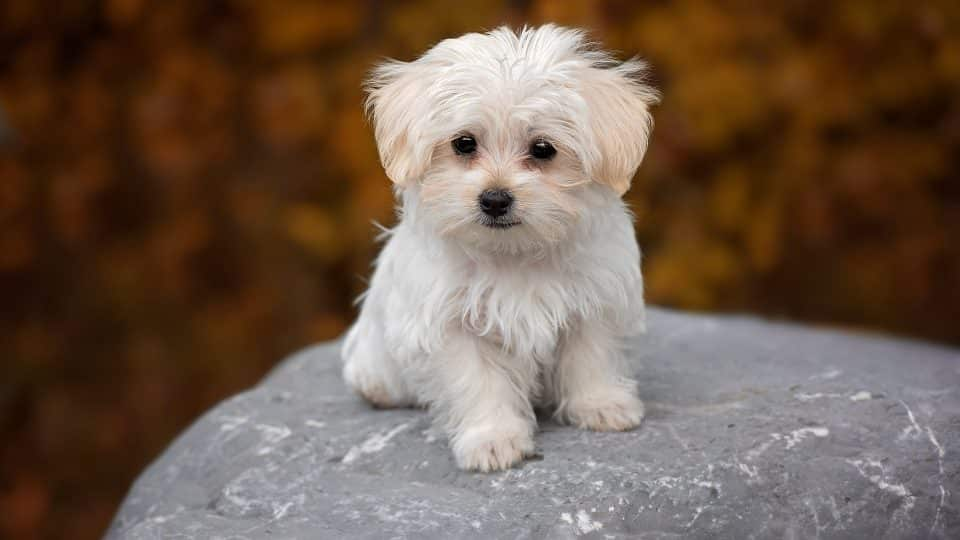 Maltese Puppies The Ultimate Guide For