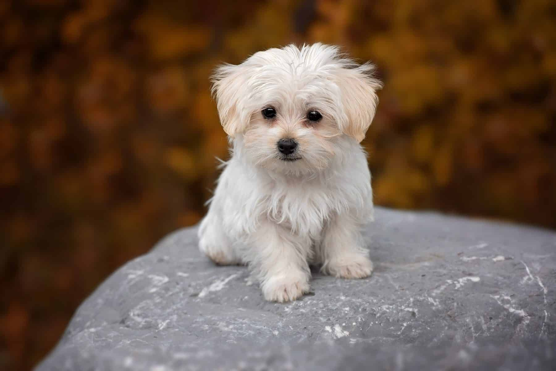 Maltese Puppies The Ultimate Guide For New Dog Owners The Dog People By Rover Com