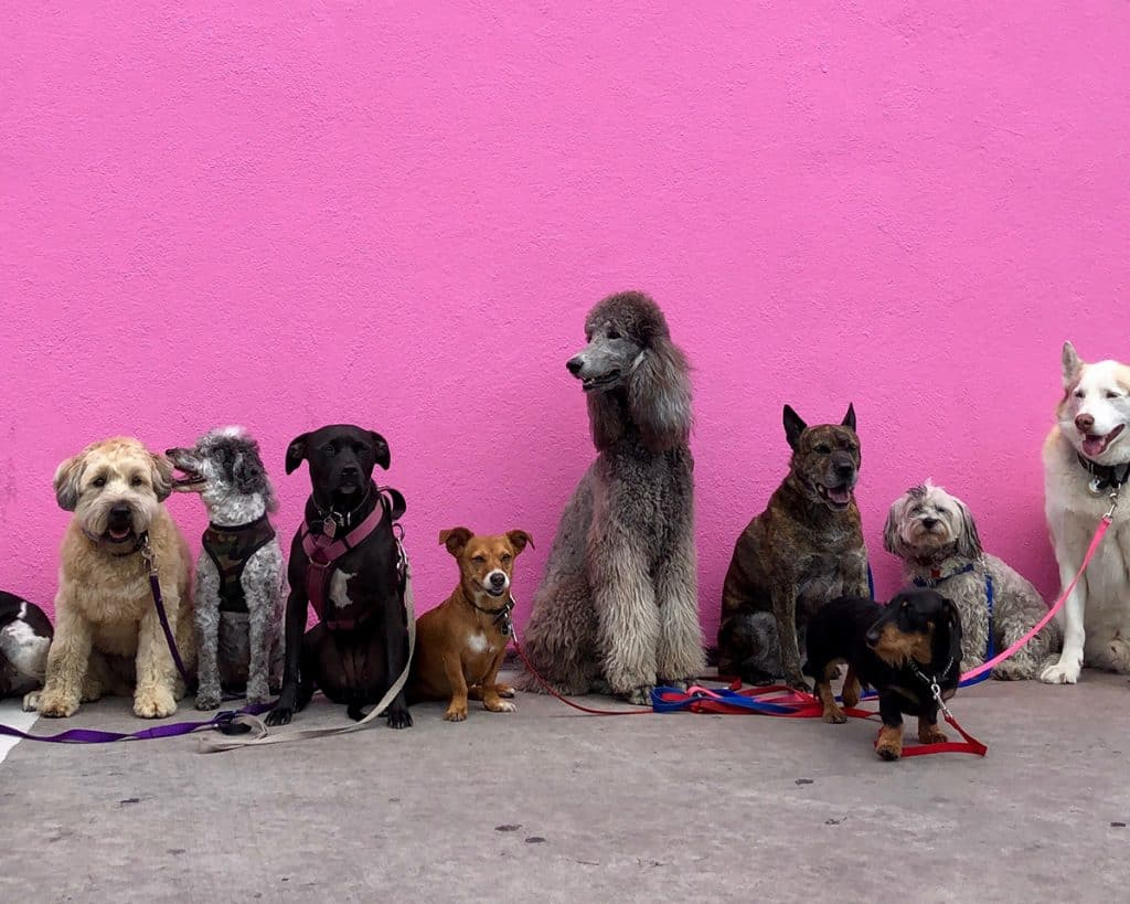 Pink Wall in LA with lots of Dogs