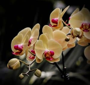 Moth orchids are safe flowers for cats