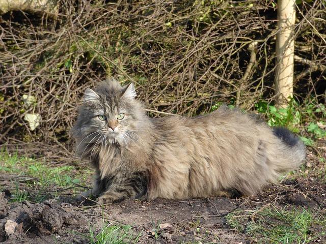Norwegian Forest Cat - Pixabay