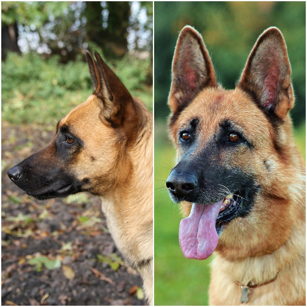 German Shepherd Vs Belgian Malinois What S The Difference The Dog People By Rover Com