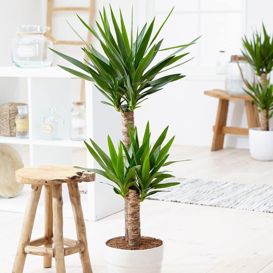 Yuca plante