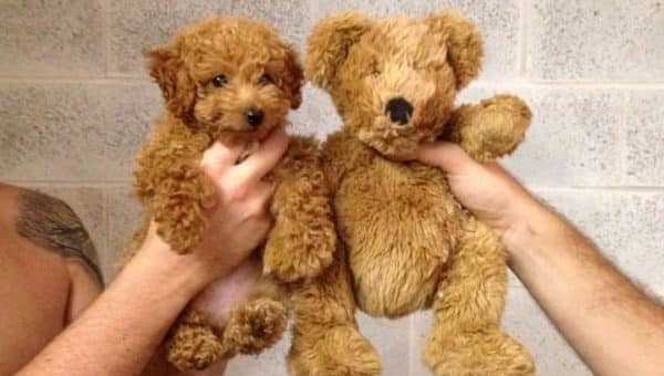 9 chiens super mignons qui ressemblent à des peluches