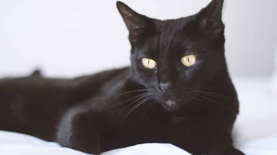 10 Facts You Probably Didn't Know About Bombay Cats   The