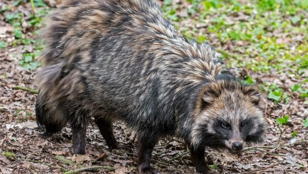 Raccoon Dogs: What Are They, Anyway?