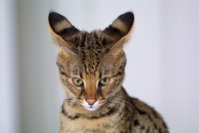Savannah Cat- Pixabay