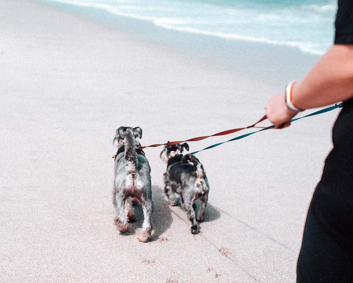 two schnauzer dogs walking on beach