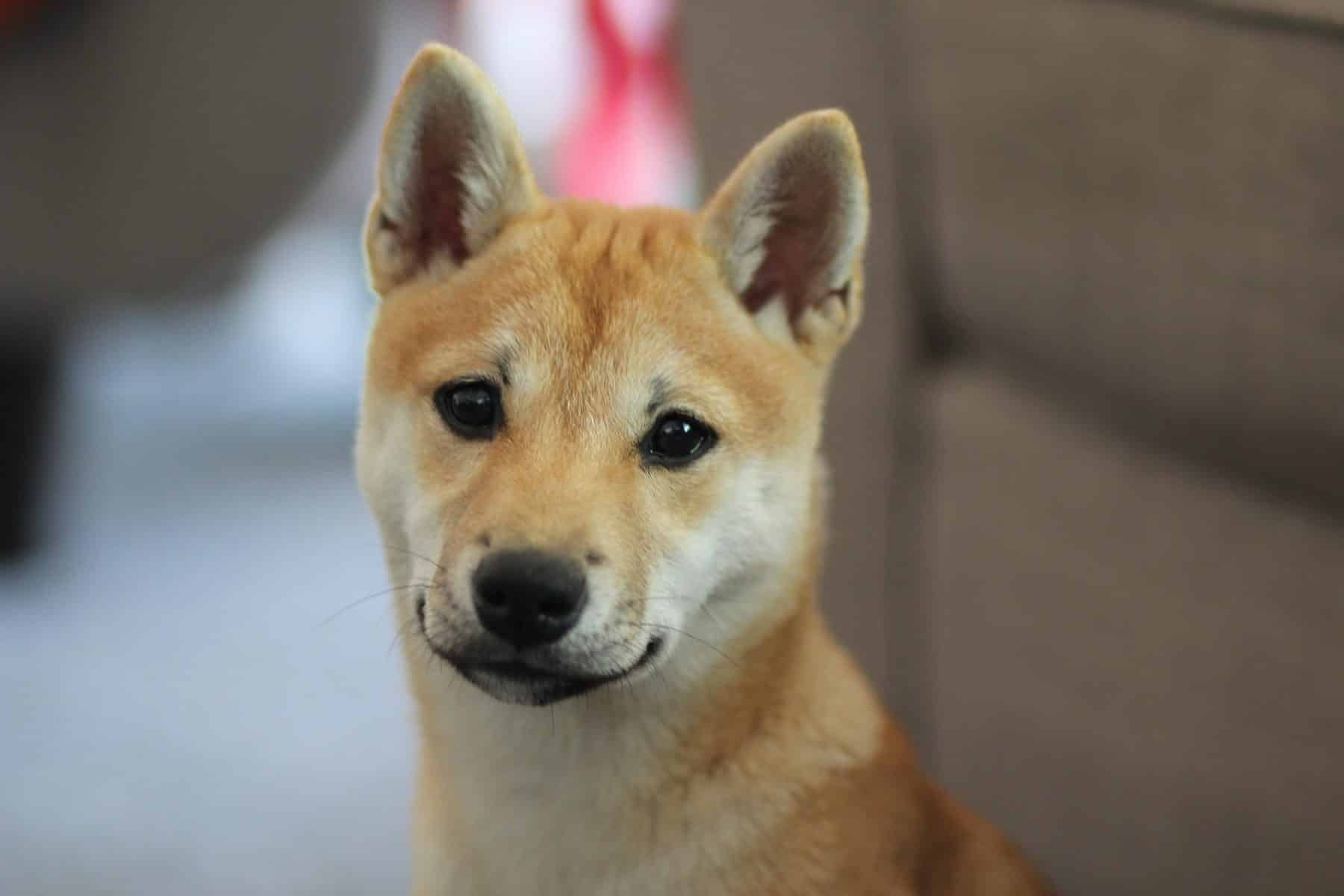 Shiba Inu Puppies The Ultimate Guide For New Dog Owners The Dog People By Rover Com
