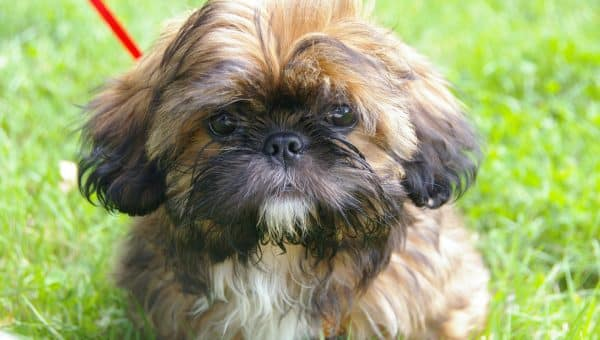 Shih Tzu Puppies: The Ultimate Guide for New Dog Owners
