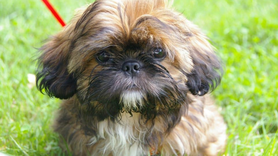 Shih Tzu Puppies The Ultimate Guide For New Dog Owners