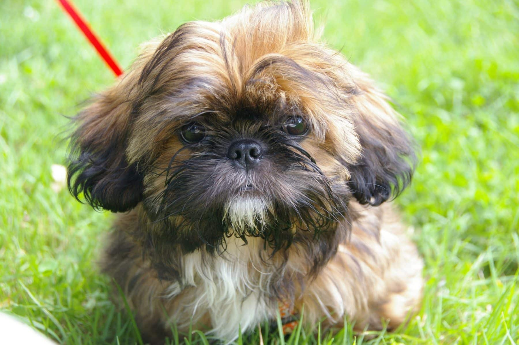 Shih Tzu Puppies The Ultimate Guide