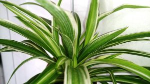 Spider plants are safe plants for dogs