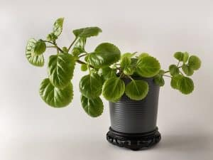 Swedish ivy in a pot is a safe plant for dogs