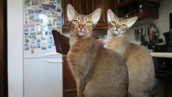 8 Fascinating Facts About the Abyssinian Cat