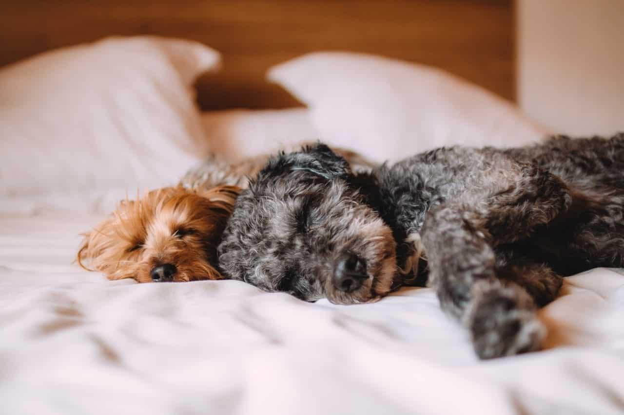 deux chiens dorment ensemble sur le lit