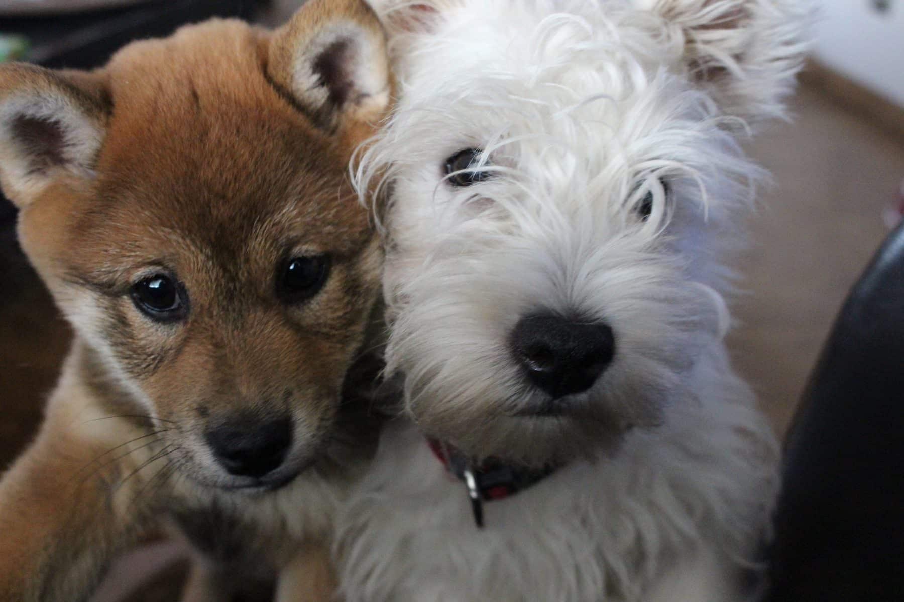 Shiba and Westie