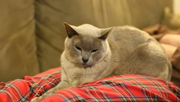 11 Facts You Probably Didn't Know About the Burmese Cat