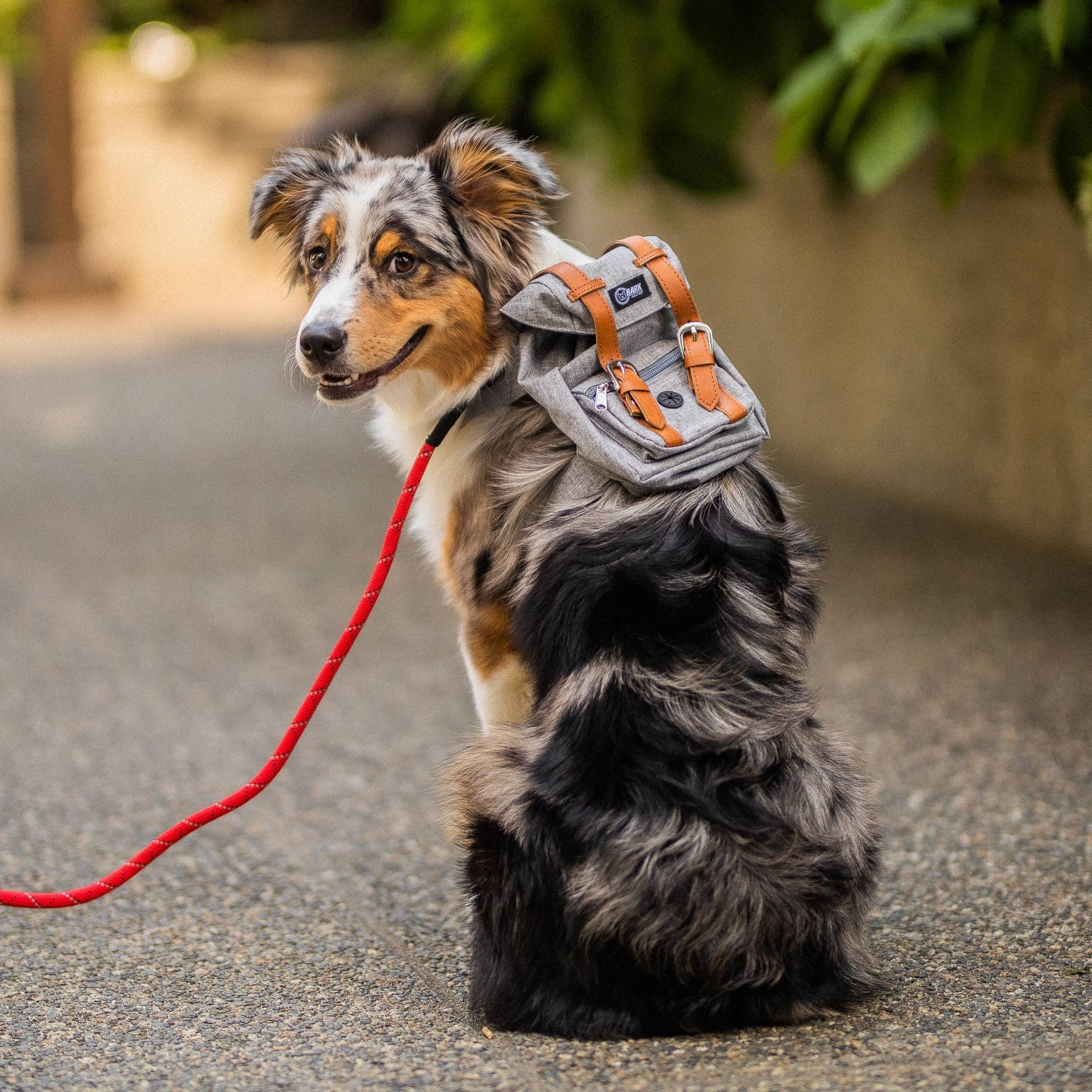 A cattle dog sits wearing a dog backpack