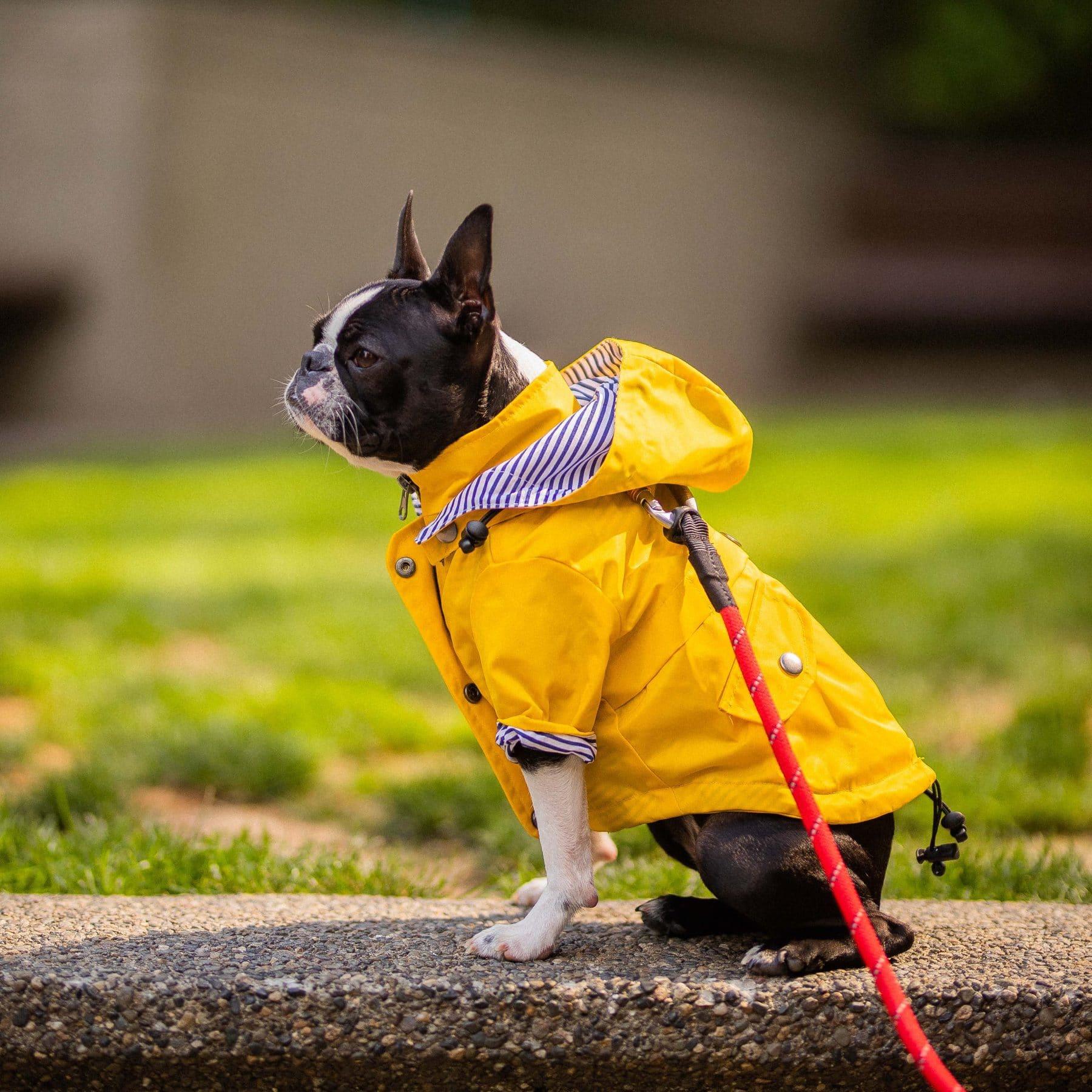 A Boston terrier sits wearing a dog rain slicker