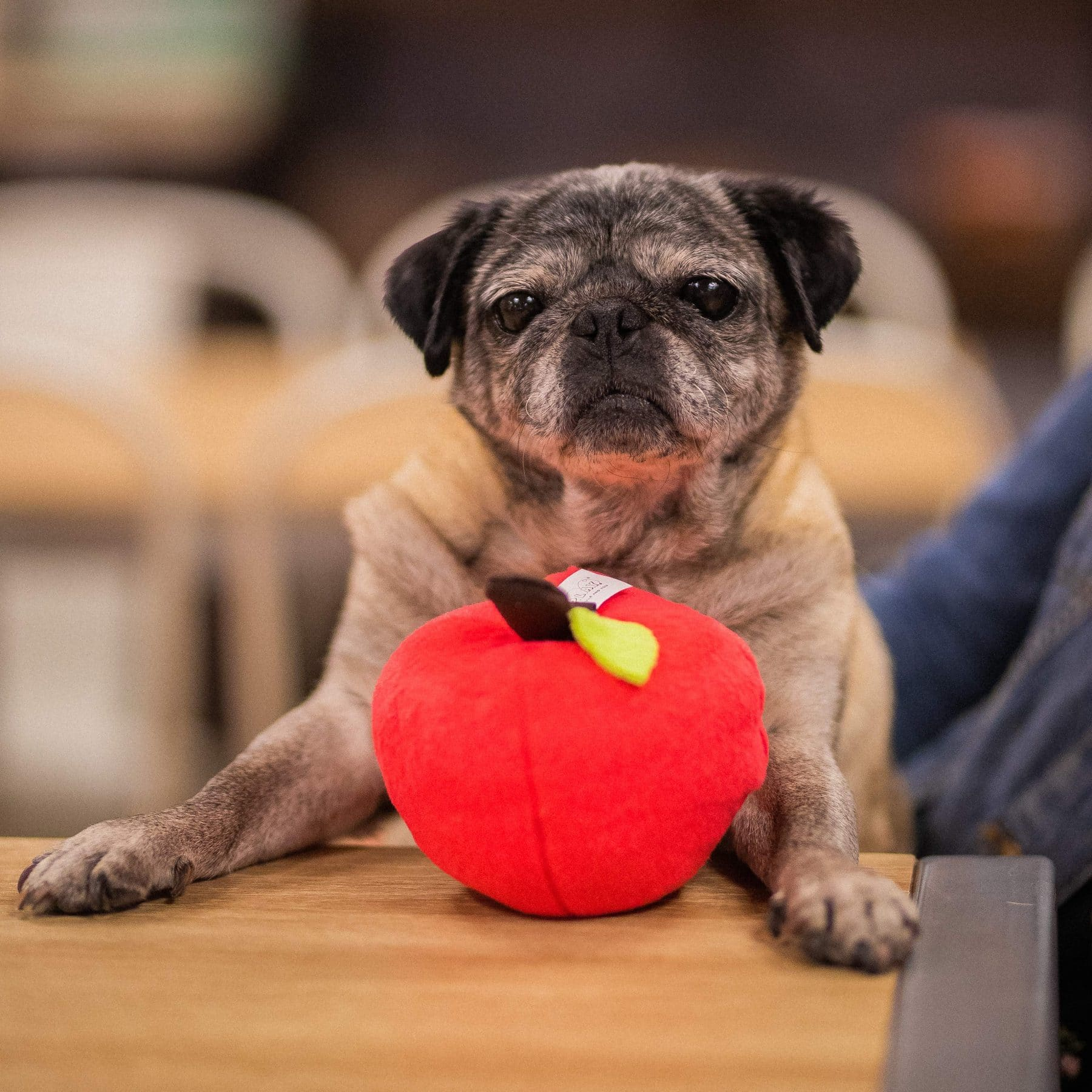 A pug sits at a desk with her apple back to school dog toy