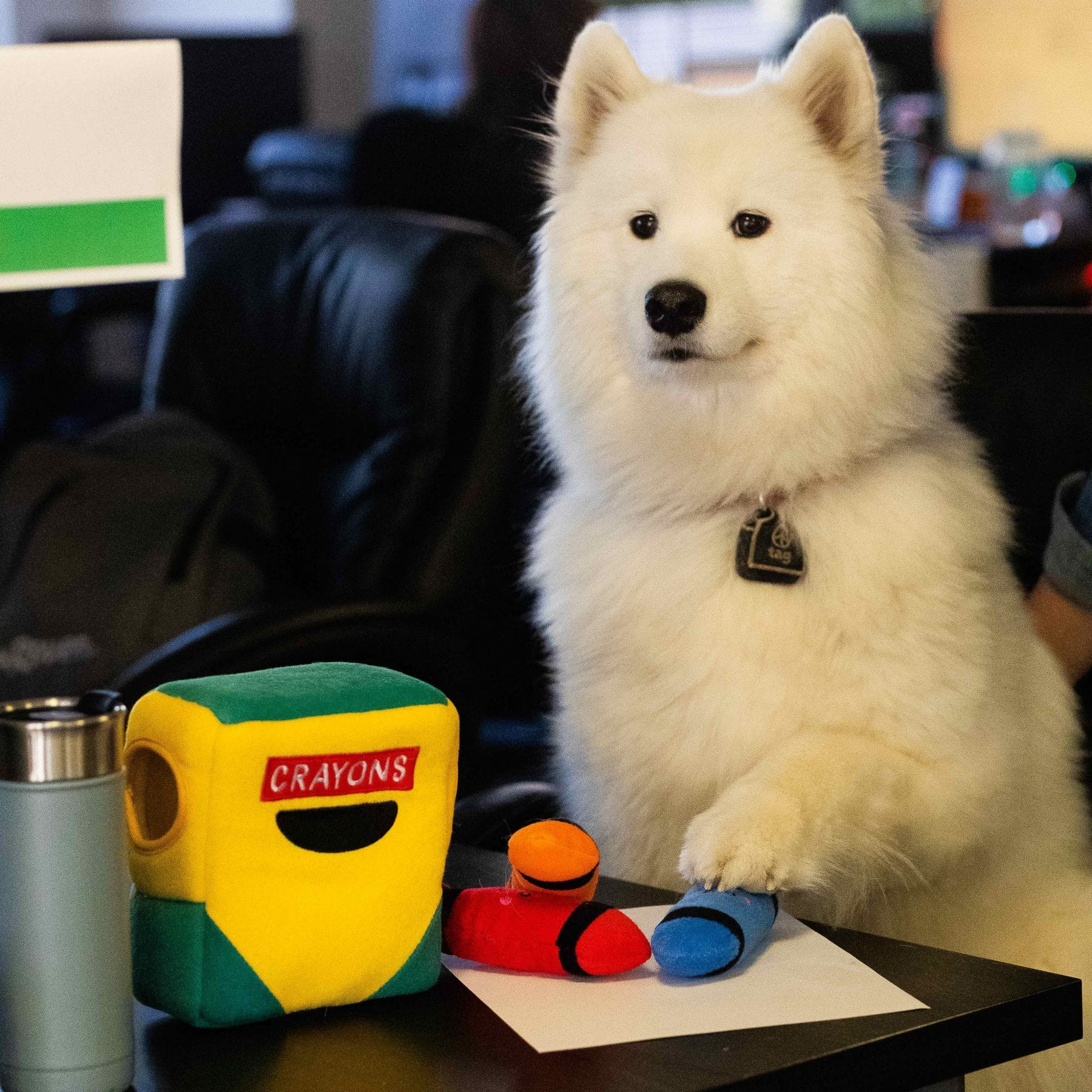 A Samoyed plays with her crayon back to school dog toy