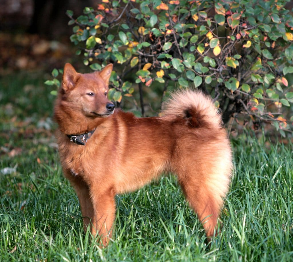 the finnish spitz is one of the dogs that look like foxes with a bushy tail and pointy ears