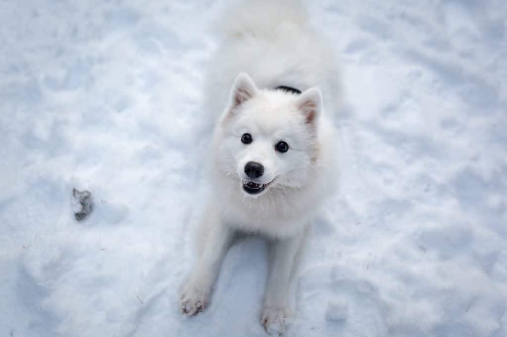 a white Japanese spitz is one of the dogs that look like foxes