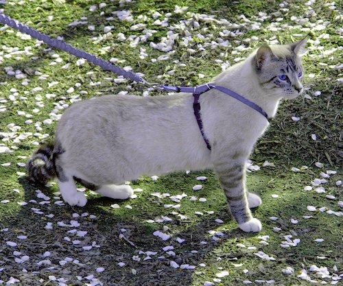 PetSafe cat leash