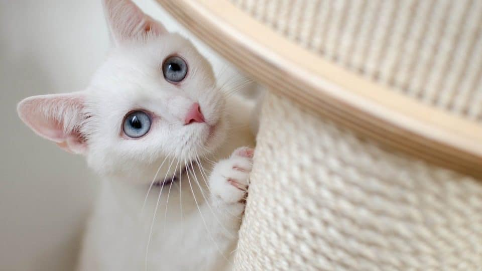white cat scratching on post