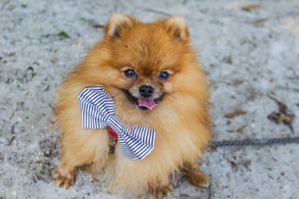 a Pomeranian smiles at the camera in this photo of a tiny dog that looks like a bear