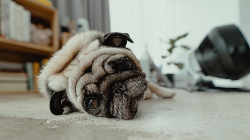 Ansia da separazione cane