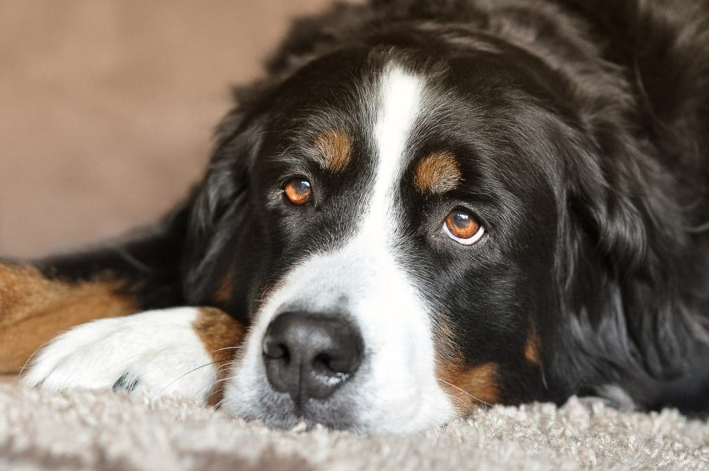 The 11 Best Dog Foods For Bernese Mountain Dogs