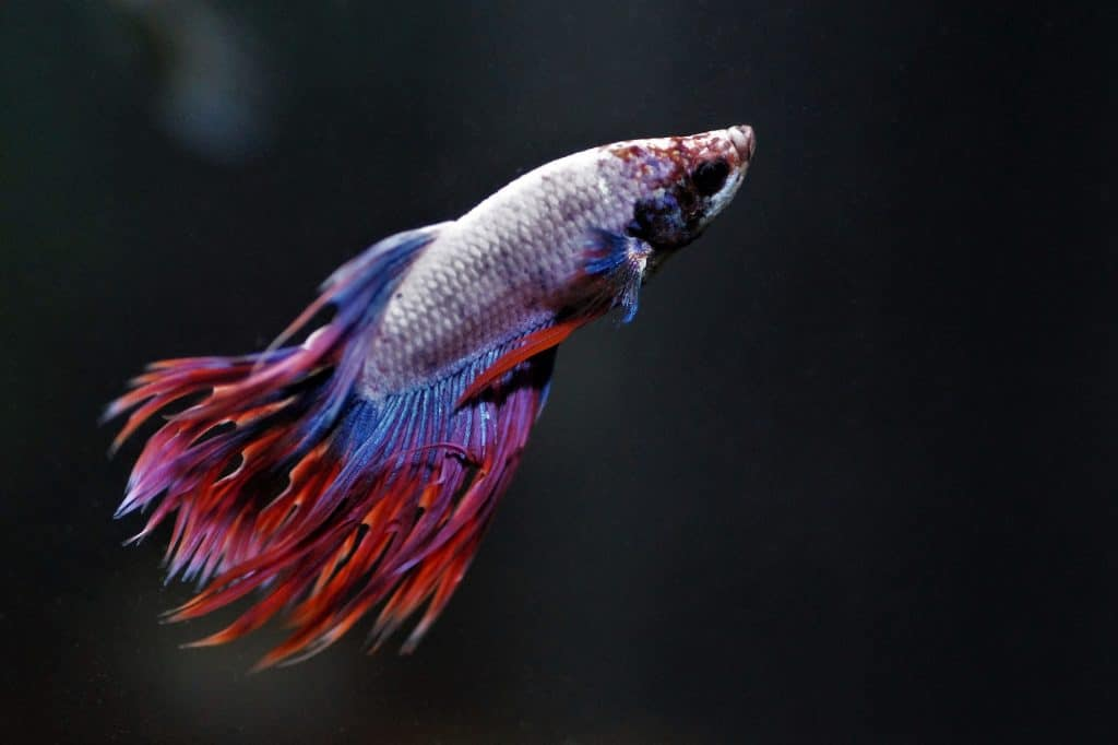 betta fish names for fish like this include veiltail and crimson