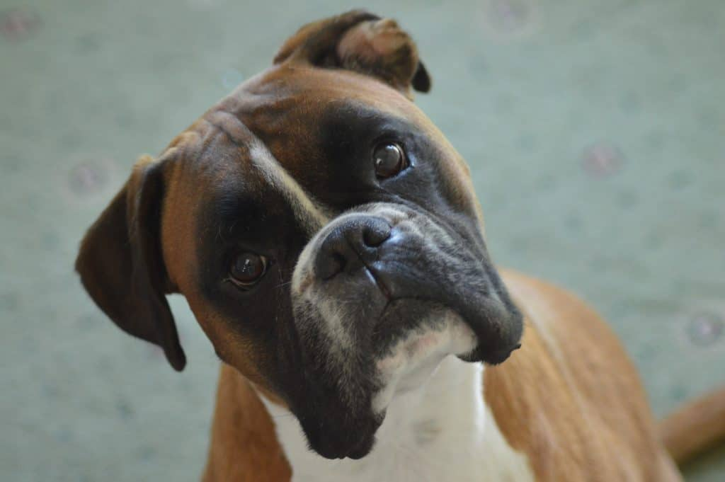 The Best Dog Food To Sustain Your High Energy Boxer