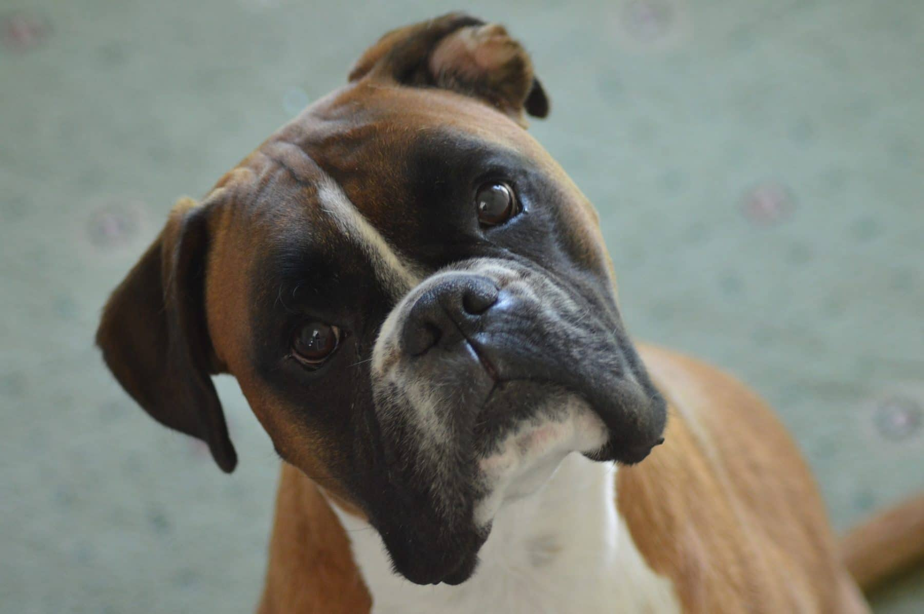 11 Best Dog Foods For Boxer Dogs The