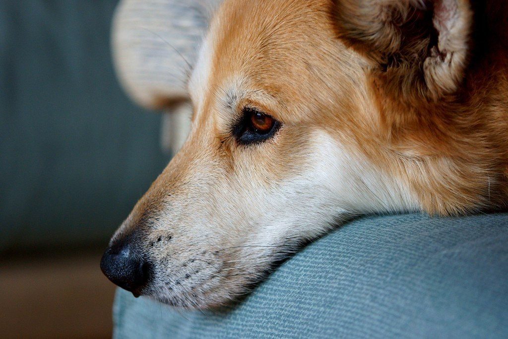the Canaan dog from Israel is one of the dogs that look like foxes with a long, narrow snout and pointy ears