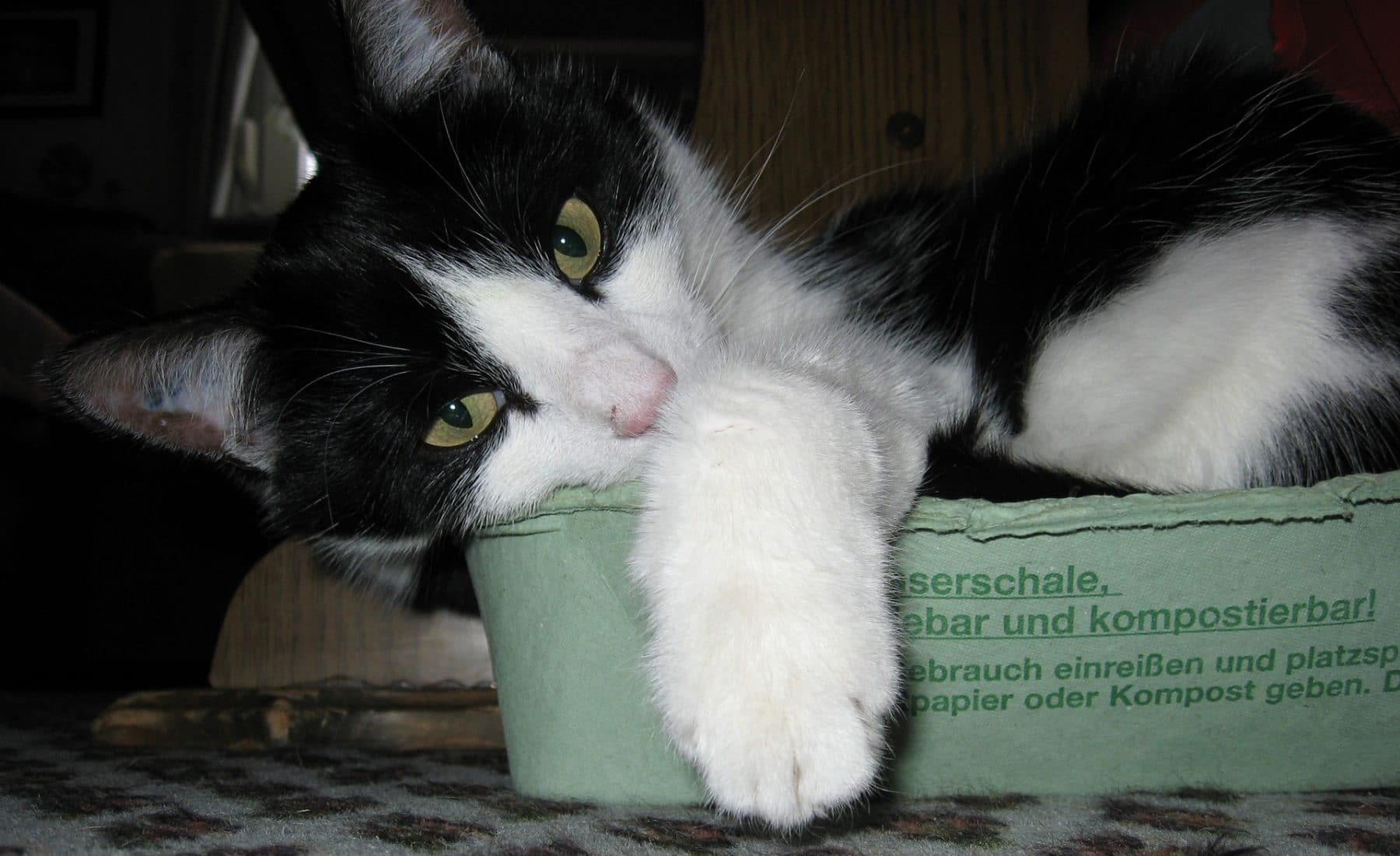 can cats eat eggs by thevetscare.com