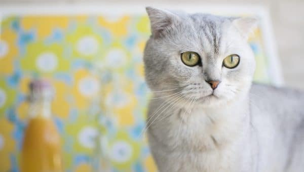 9 Surprising Facts About Scottish Fold Cats