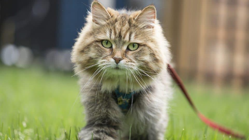 cat in grass wearing leash