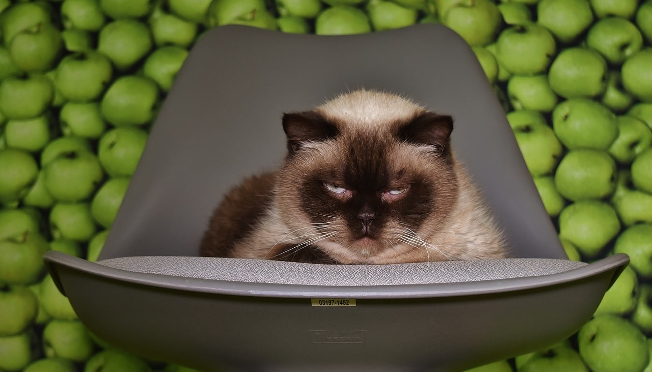 Can Cats Eat Apples The Truth About Slices Applesauce More