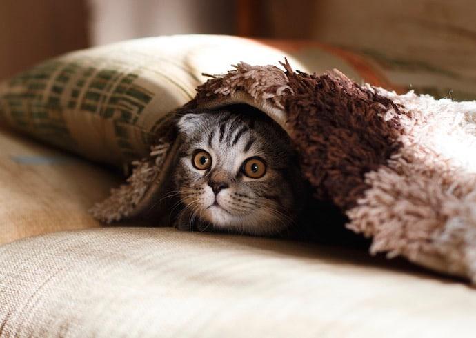 petit chat gris sur le canapé