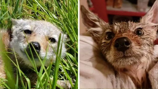 Witness the Adorable Moment a Cranky Chicago Botanist Rescues a Sick Coyote Pup [Video]