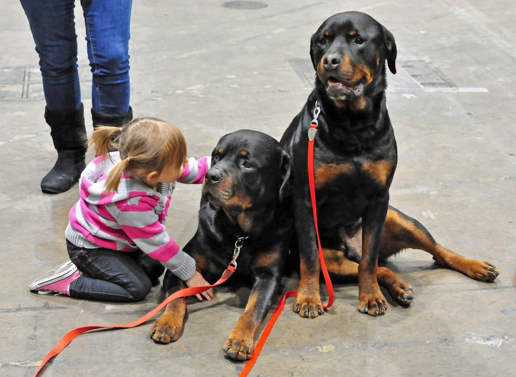 A young girl petting two calm, leashed Rottweilers.
