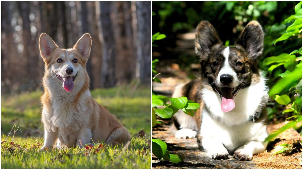 Corgi Dogs Fun Facts History And How To Get One