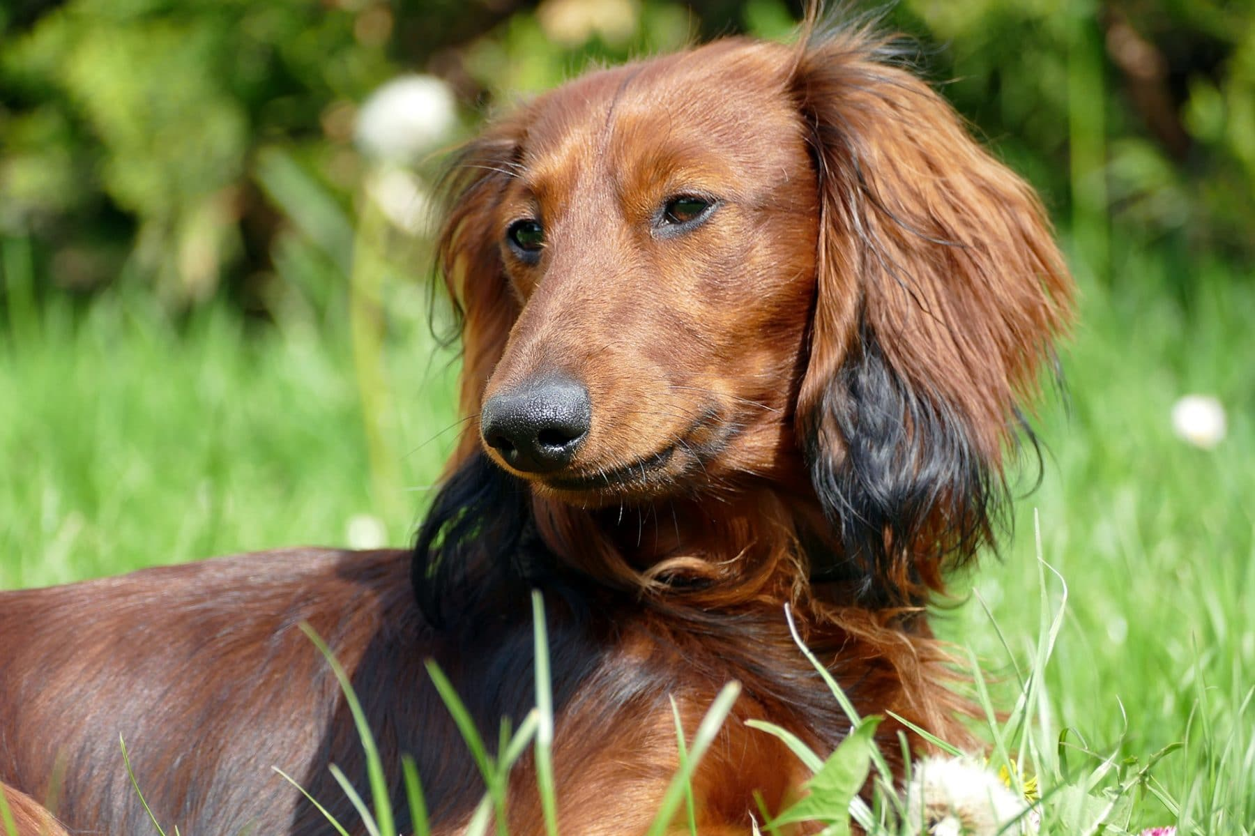 Grooming Long-Haired Dachshunds: The Essential Guide with Photos