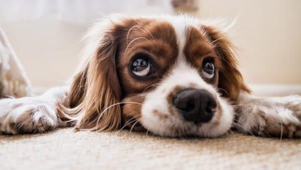 Hur du hjälper en hund med separationsångest