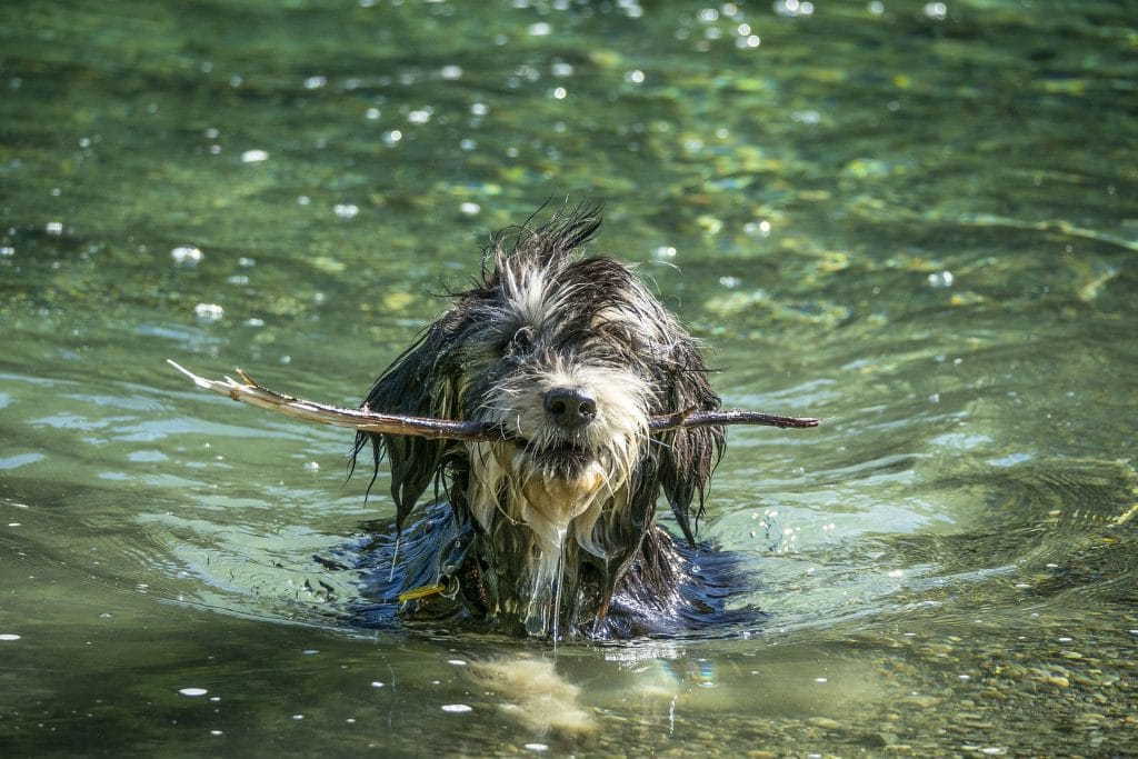 A dog with a stick in his mouth swims in a pond