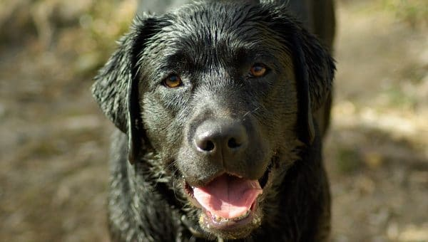 Wet Dog Smell: How to Get Rid of It (and Why it Happens)