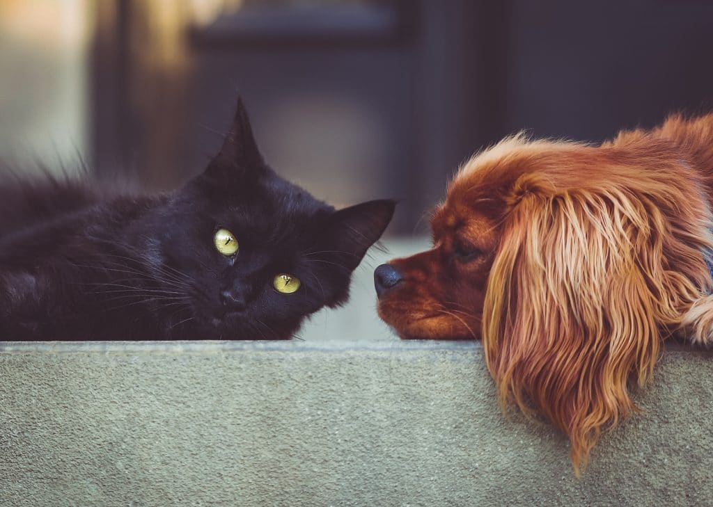 Dogs That Are Good With Cats 10 Small And Large Breeds That Like Cats